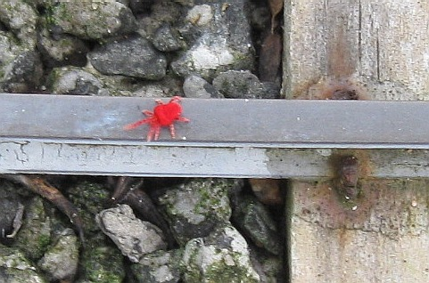 red spider.JPG